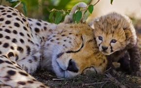 Picture cat, Cheetah, Africa, Kenya, reserve, Masai Mara