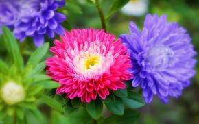 Wallpaper Flowers, Flowers, Colors, asters, Asters