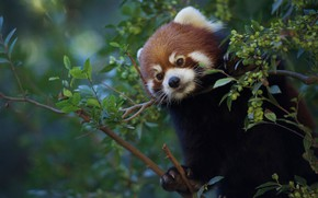 Picture branches, Red Panda, Red Panda