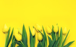 Picture Tulips, Yellow, Background, Buds