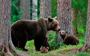 Wallpaper bears, nature, trees, bokeh, brown, greens, grass, bears, bear, forest, the three bears