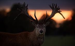 Wallpaper deer, sunset, horns, look
