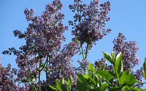 Picture morning, lilac, April, spring 2018, Mamala ©