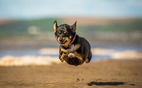 Picture dog, running, flight