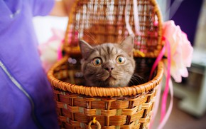 Picture cat, eyes, look, kitty, emotions, grey, background, basket, kitty, face, basket, the expression, funny, moving, …