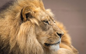 Picture face, portrait, Leo, mane, the king of beasts