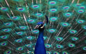 Picture look, bird, feathers, tail, peacock
