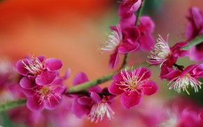 Picture macro, background, branch, blur, flowering, flowers, Apricot Japanese