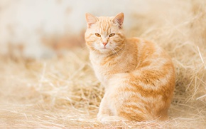 Wallpaper red cat, red, hay, look, cat