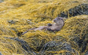 Picture nature, lies, otter
