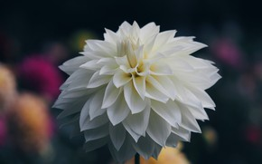 Picture the dark background, blur, white Dahlia