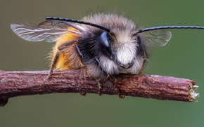 Picture macro, bee, megachilid