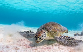 Picture sand, sea, water, background, turtle, underwater world, sea turtle, sea, blue background