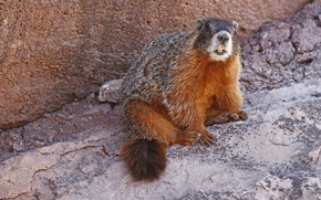 Picture nature, teeth, rodent, yellow-bellied marmot