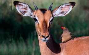 Picture the sun, nature, bird, deer, muzzle, ears, horns, bokeh