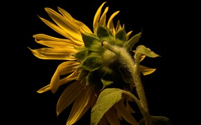 Picture nature, background, sunflower