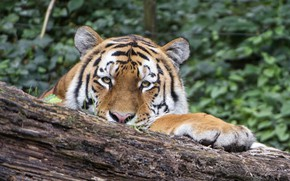 Picture cat, nature, animal, stay, Tiger, wild