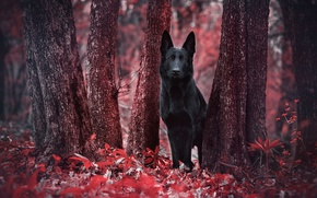 Picture forest, red, foliage, dog, black, red, forest, black, the trunks of the trees, dog, dog, ...