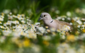 Picture flowers, bird, spring, Dove
