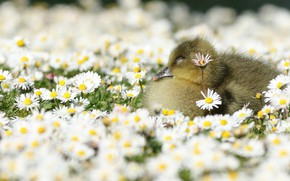 Picture flowers, nature, baby, meadow, Gosling