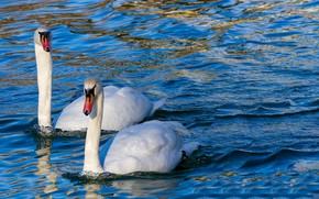 Picture Water, Swan, Bird, Lake
