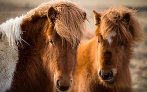 Wallpaper nature, Icelandic horses, horses