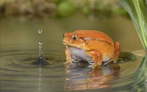 Picture water, drops, frog, orange