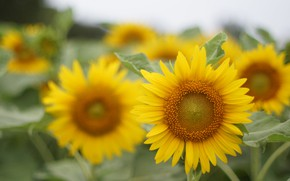 Picture sunflower, petals, bright, flowering