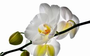Picture flower, petals, Orchid
