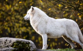 Picture autumn, white, leaves, branches, nature, stone, wolf, profile, Arctic, polar, Arctic wolf