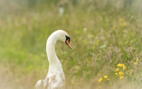 Picture grass, flowers, Swan
