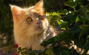 Picture cat, look, leaves, portrait, muzzle, red cat