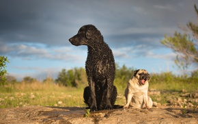 Picture dogs, Pug, Curly, Curtiosity Retriever