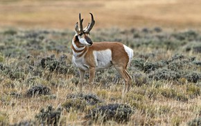Picture horns, mammal, antelope, pronghorn