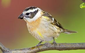 Picture bird, branch, female, blackheads Dubonosov cardinal