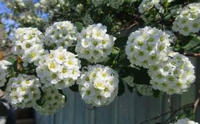 Picture balls, flowers, Bush, white, spring 2018, Meduzanol ©