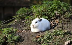 Picture Rabbit, Hare, Mammal, Wild Rabbit
