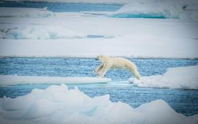Picture jump, predator, ice, polar bear, polar