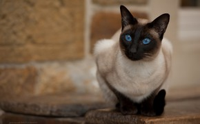 Picture cat, look, blue eyes, Jack Russell, The Thai cat
