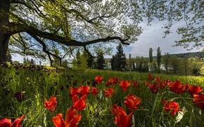 Picture spring, Germany, tulips, Mainau Island