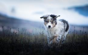 Wallpaper field, nature, dog, puppy, walk, Australian shepherd, blade, Aussie