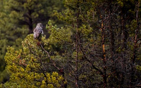 Picture forest, trees, owl, wildlife, Great grey owl