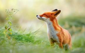 Wallpaper background, Fox, grass, Fox
