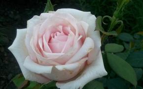Picture Flowers, white, beige, cream rose