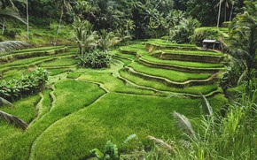 Picture Nature, Indonesia, Palm trees, Field, Landscape