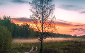 Picture forest, trees, fog, dawn