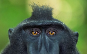 Wallpaper crested baboon, the primacy of, eyes, Indonesia, look, Sulawesi