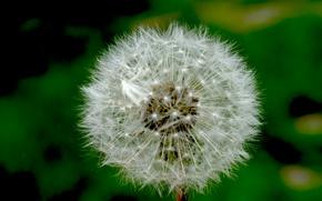 Picture macro, dandelion, green, beautiful, nature macro