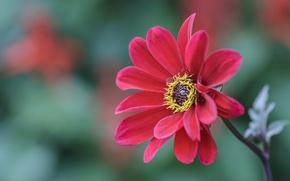 Picture nature, petals, stem, Dahlia