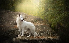 Picture autumn, stone, dog, The white Swiss shepherd dog